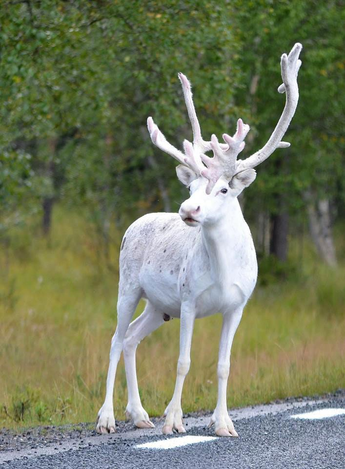HD Quality Wallpaper   Collection: Animal, 707x960 Reindeer