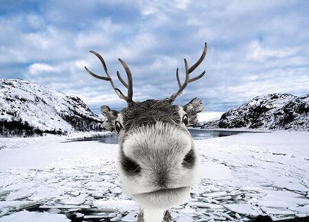 Images of Reindeer   450x323