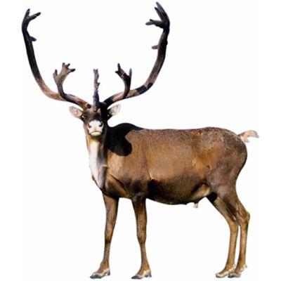 Reindeer Pics, Animal Collection