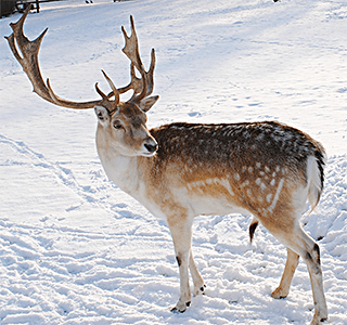 Reindeer High Quality Background on Wallpapers Vista