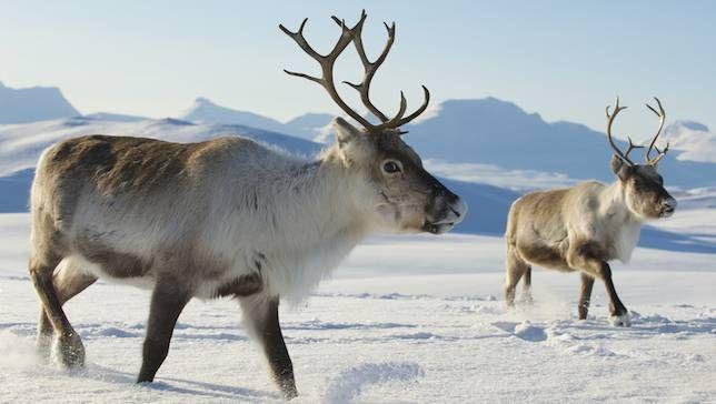 Reindeer Backgrounds on Wallpapers Vista