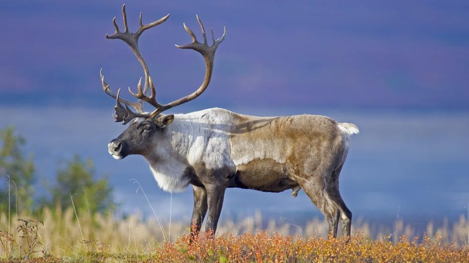 High Resolution Wallpaper   Reindeer 945x531 px
