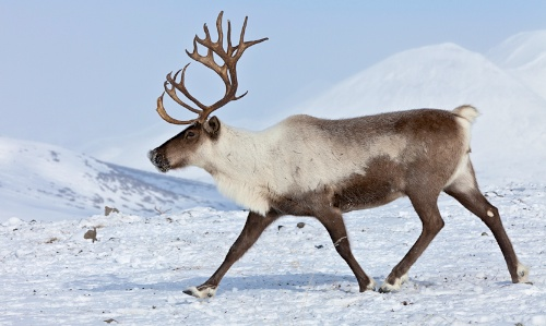 Reindeer Backgrounds, Compatible - PC, Mobile, Gadgets  500x299 px