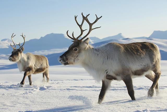640x430 > Reindeer Wallpapers