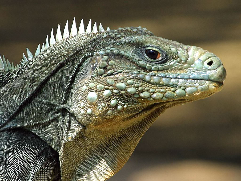 Reptile High Quality Background on Wallpapers Vista