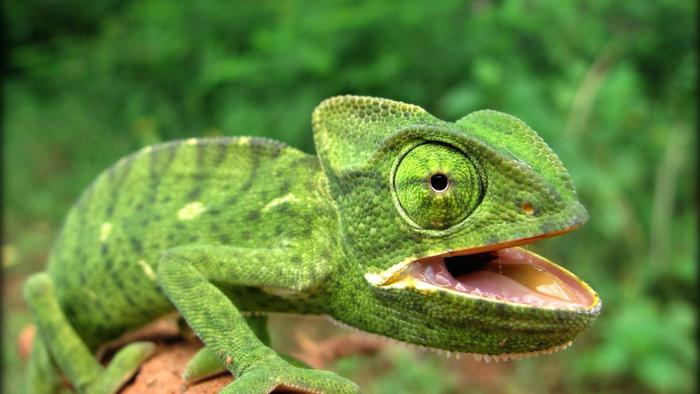 Nice wallpapers Reptile 700x394px