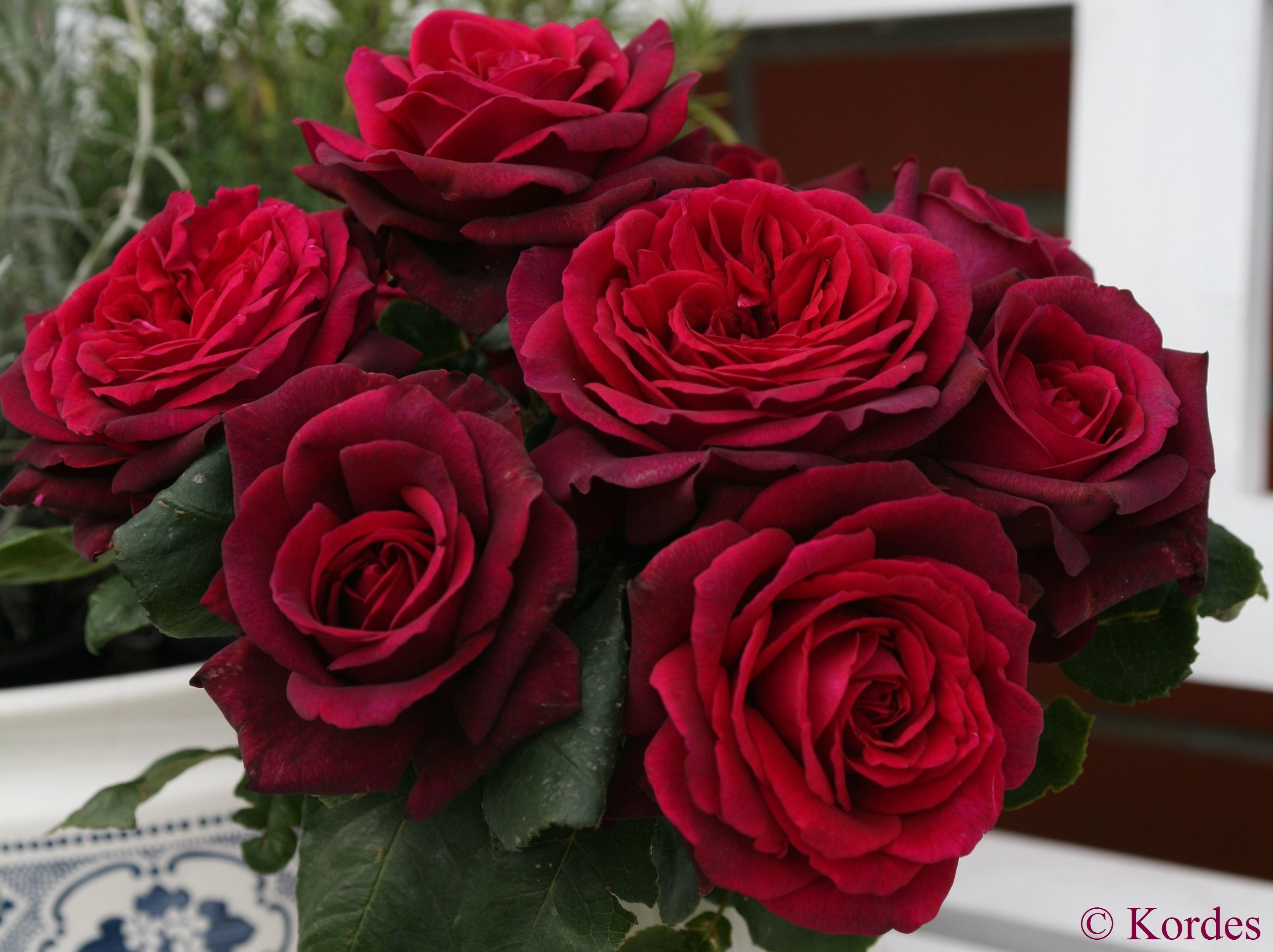HQ Rose Wallpapers | File 1004.8Kb