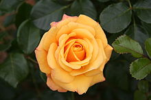 Rose High Quality Background on Wallpapers Vista
