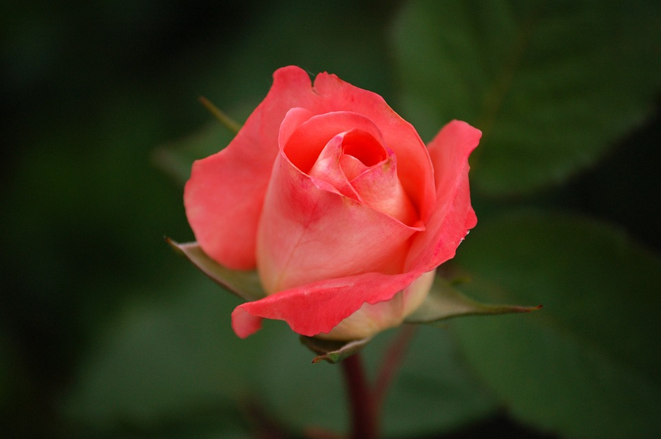 Amazing Rose Pictures & Backgrounds