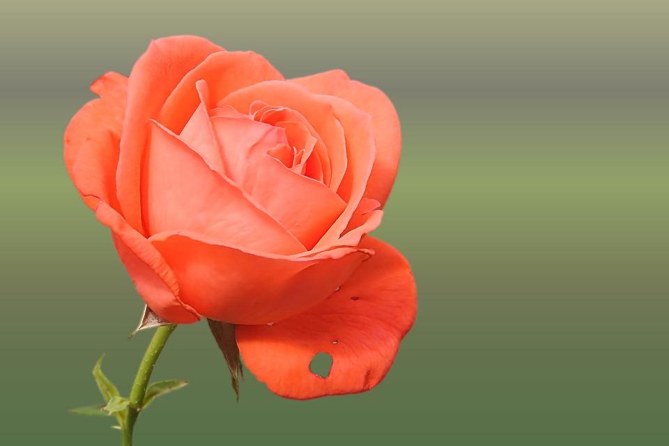 Rose #20