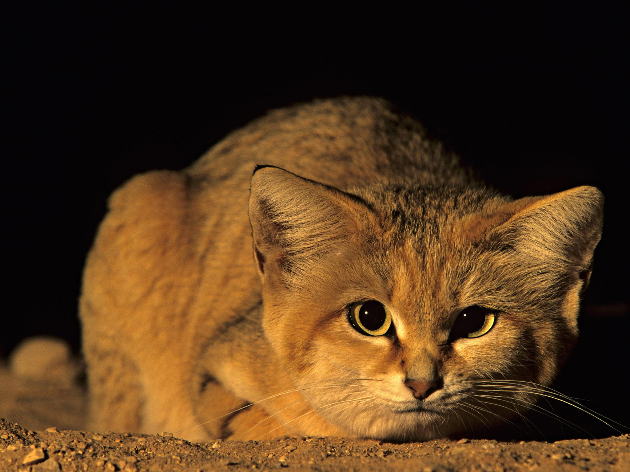 Sand Cat Wallpapers Animal Hq Sand Cat Pictures 4k Wallpapers 2019