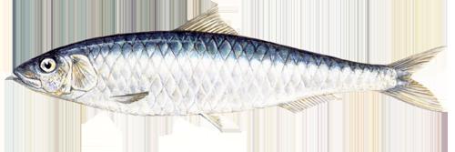 Sardines Pics, Food Collection