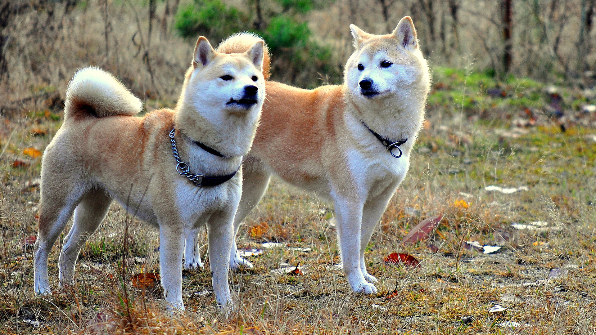 Shiba Inu Wallpapers Animal Hq Shiba Inu Pictures 4k Wallpapers 2019