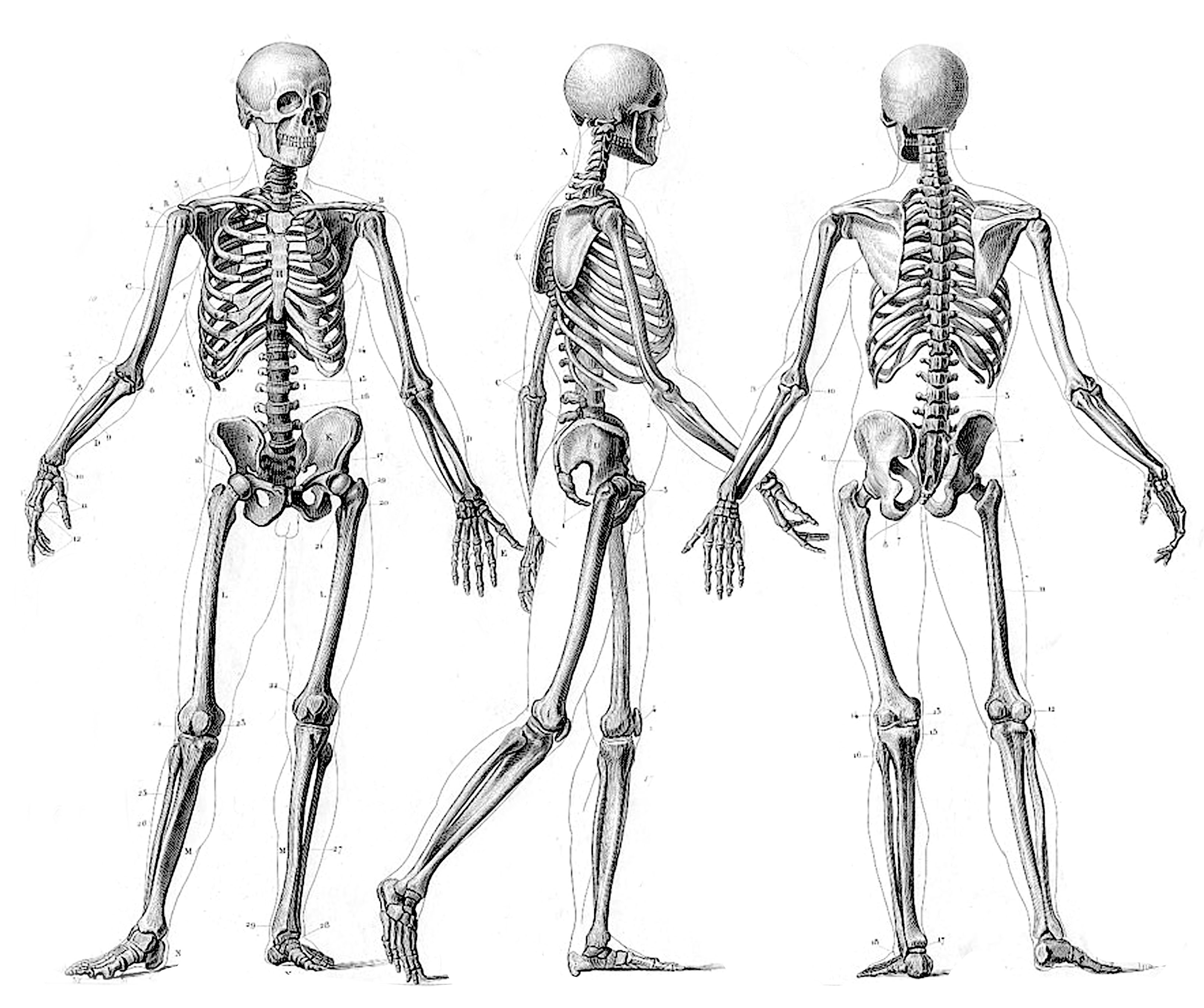 Skeleton High Quality Background on Wallpapers Vista