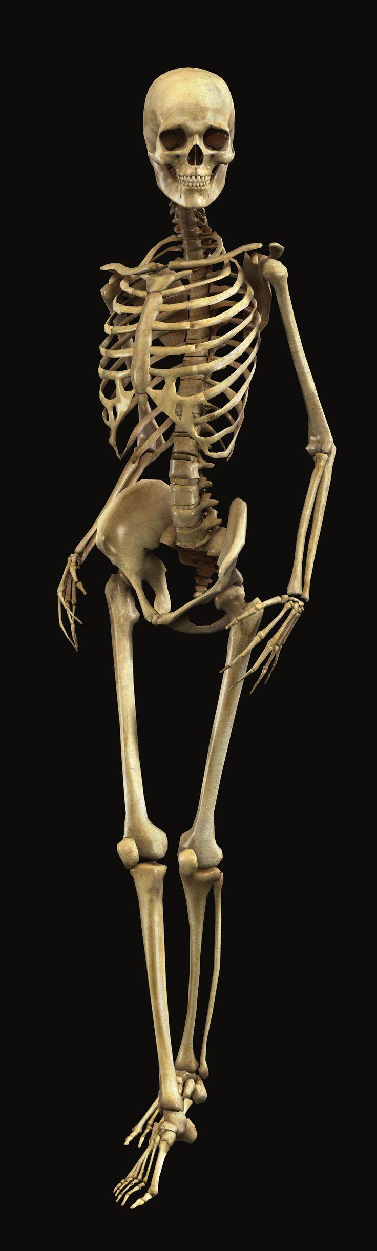 Images of Skeleton   736x2442