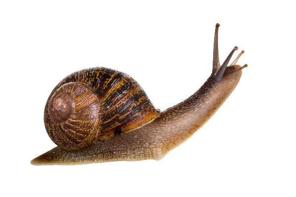 HD Quality Wallpaper | Collection: Animal, 600x399 Snail