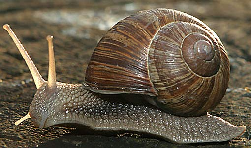 HD Quality Wallpaper | Collection: Animal, 510x301 Snail
