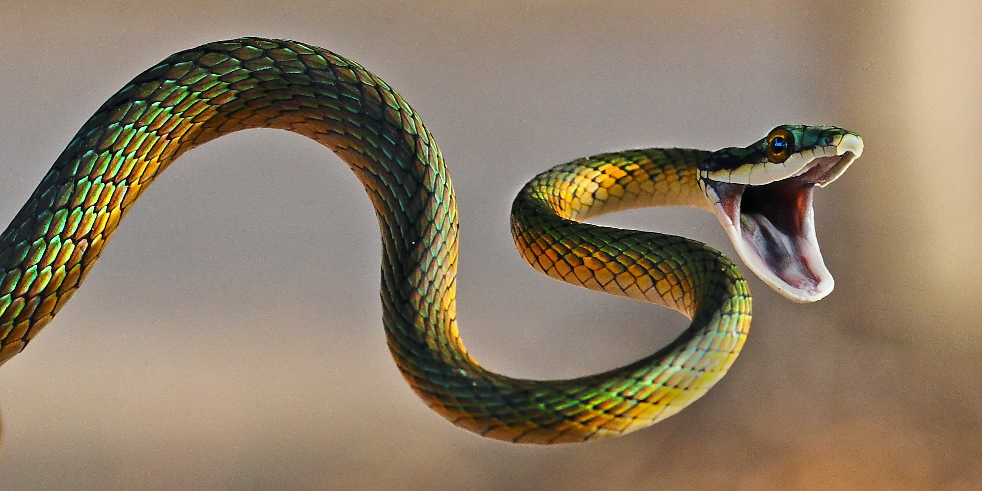 High Resolution Wallpaper | Snake 2000x1000 px