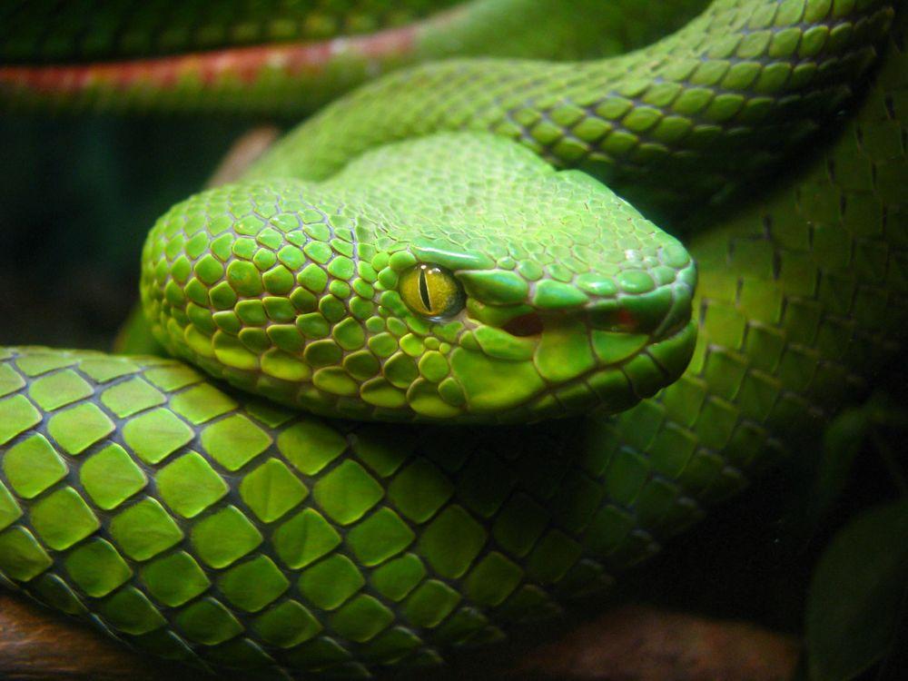 High Resolution Wallpaper | Snake 1000x750 px