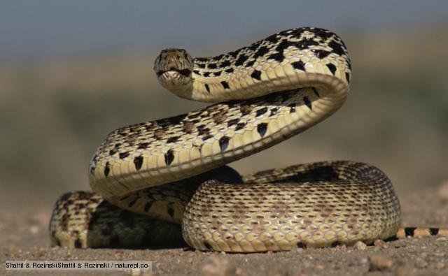 HD Quality Wallpaper | Collection: Animal, 640x395 Snake