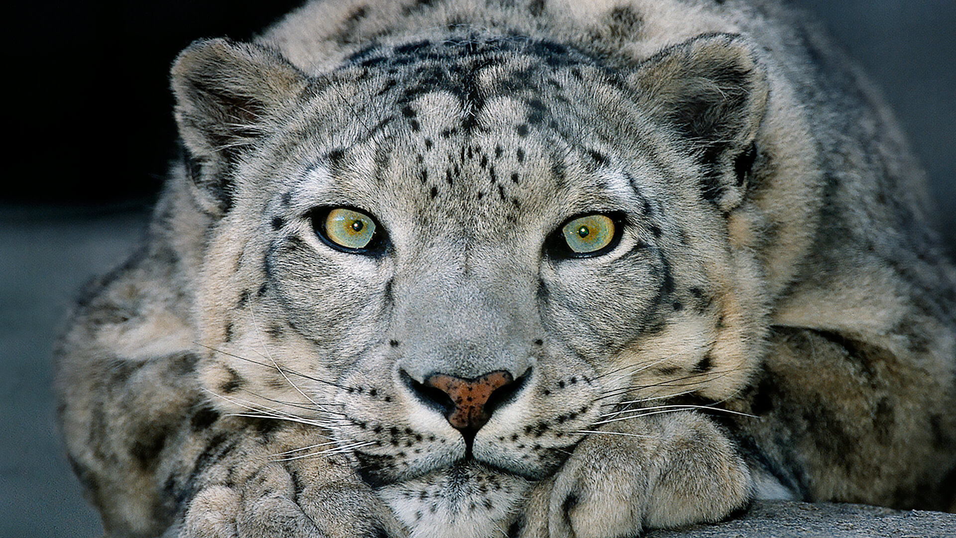 HD Quality Wallpaper | Collection: Animal, 1920x1080 Snow Leopard