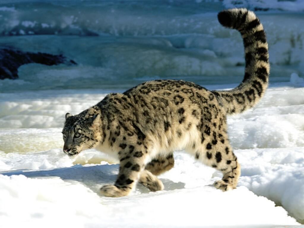 High Resolution Wallpaper | Snow Leopard 1024x768 px