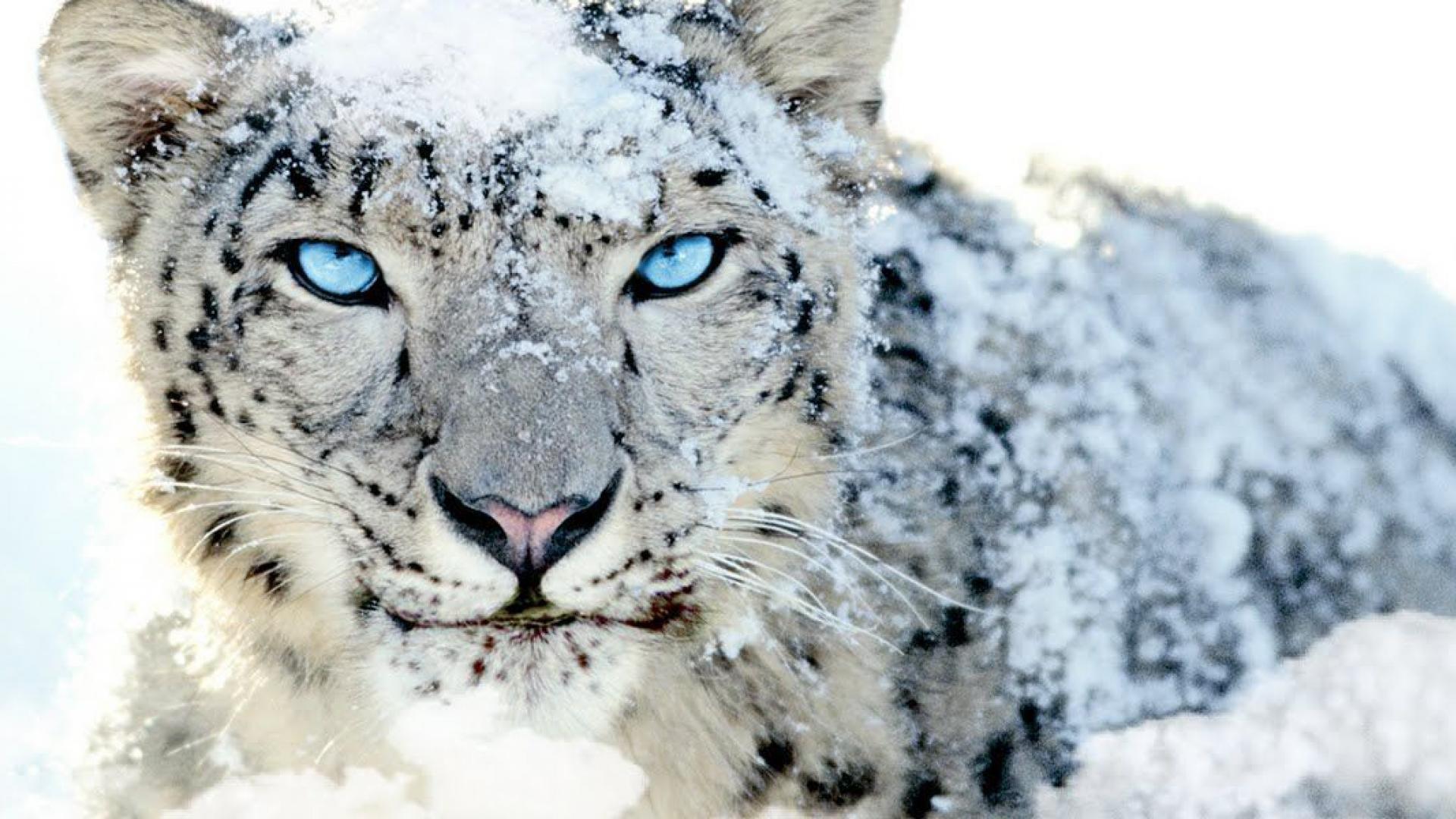 High Resolution Wallpaper | Snow Leopard 1920x1080 px