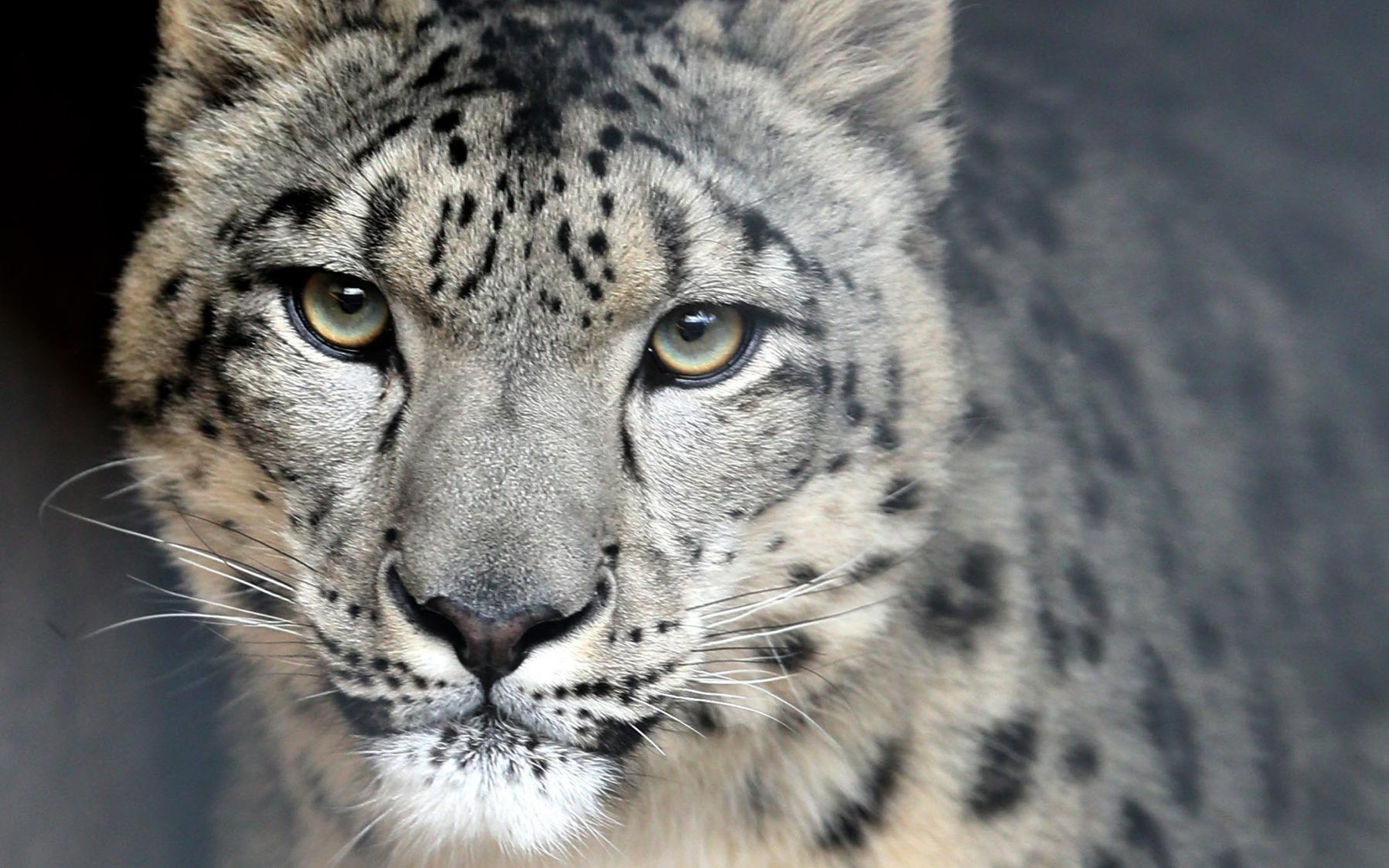Amazing Snow Leopard Pictures & Backgrounds