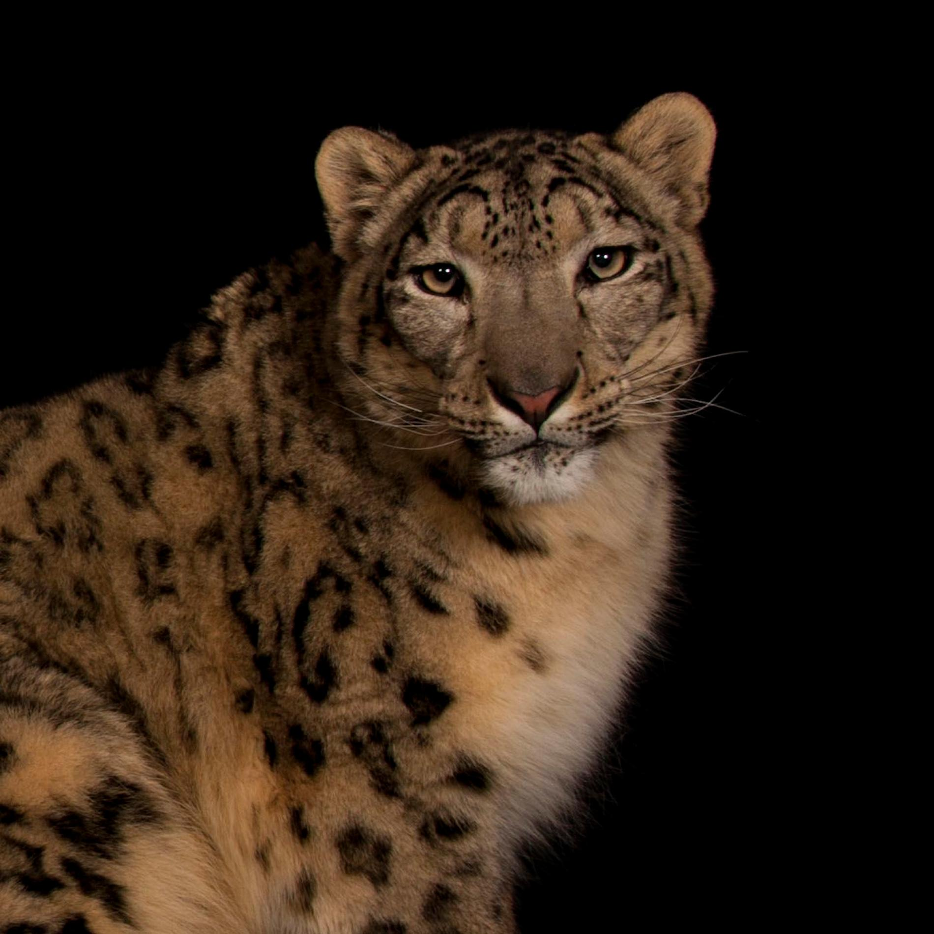 Images of Snow Leopard | 1900x1900