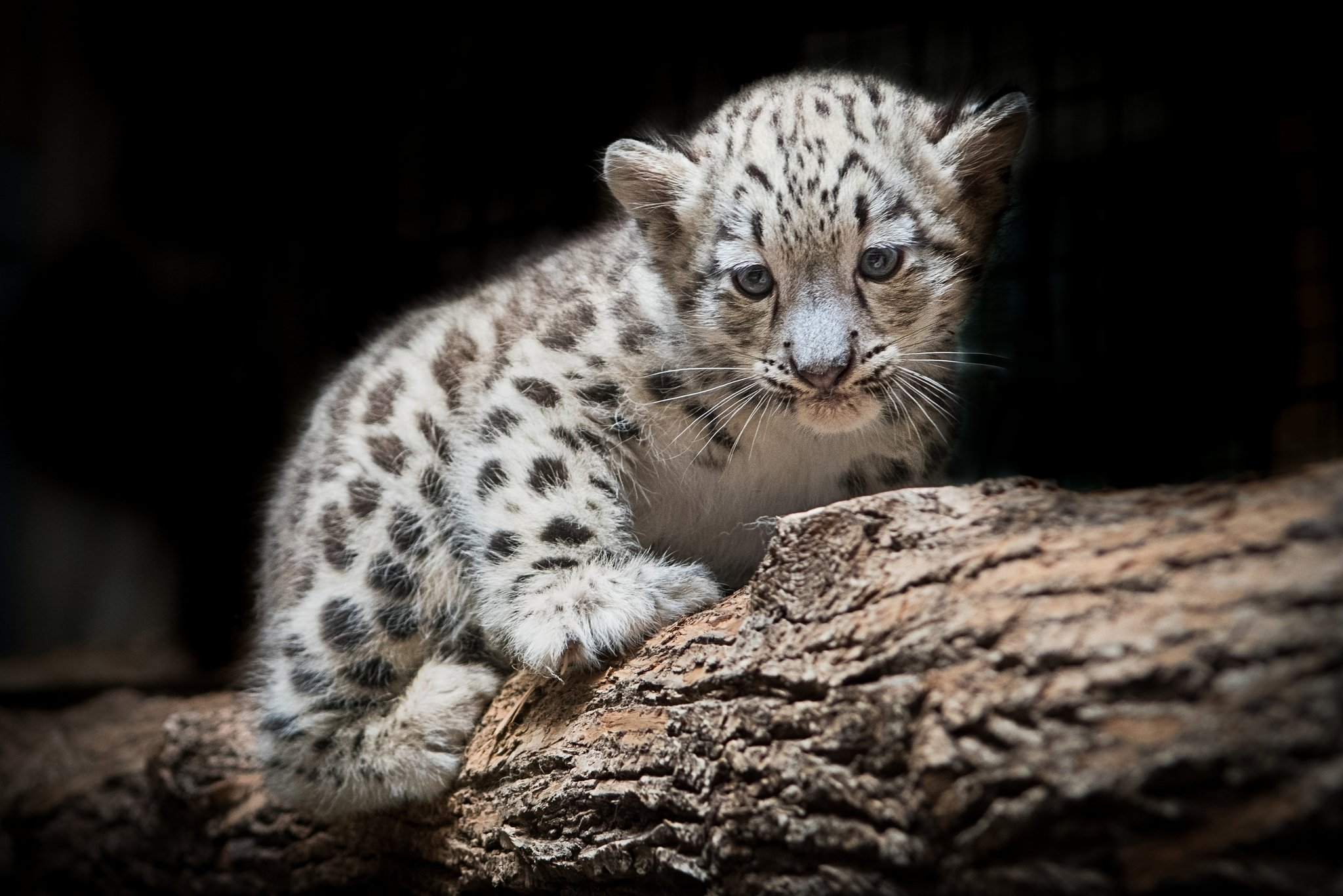 Snow Leopard Pics, Animal Collection