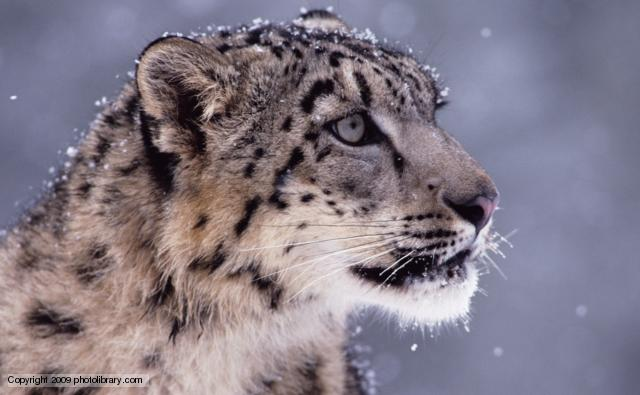 Nice Images Collection: Snow Leopard Desktop Wallpapers