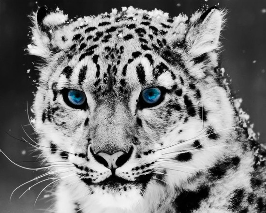 Snow Leopard Backgrounds, Compatible - PC, Mobile, Gadgets| 550x440 px