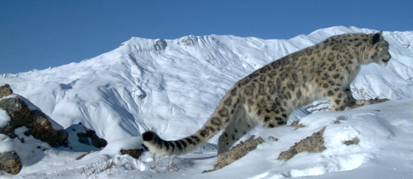 Images of Snow Leopard | 828x360