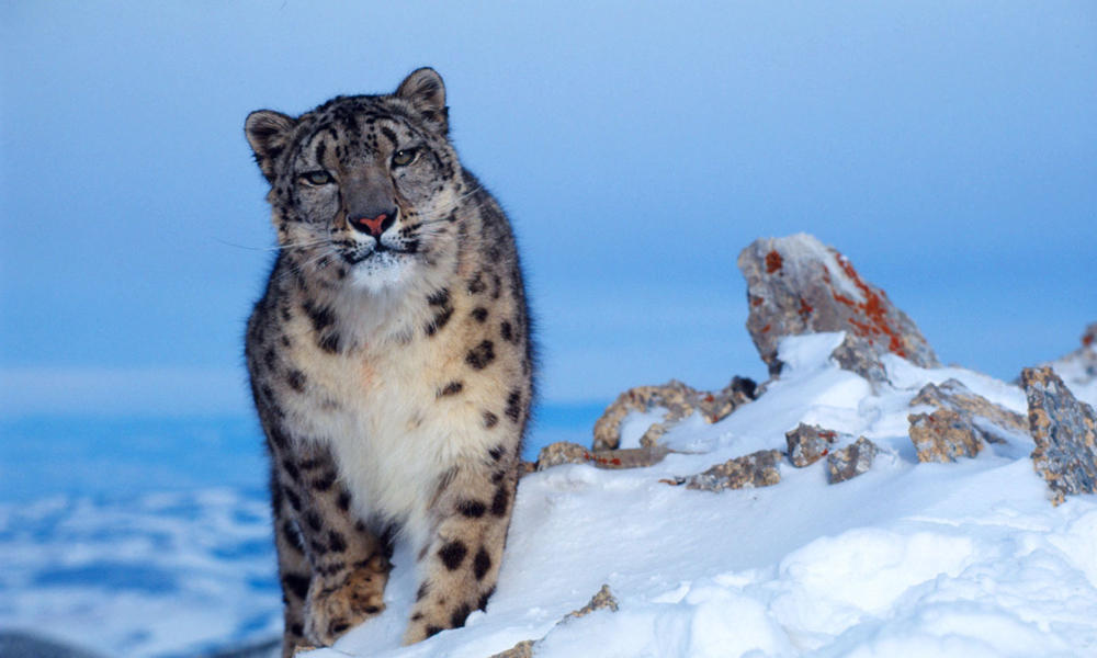 Snow Leopard High Quality Background on Wallpapers Vista