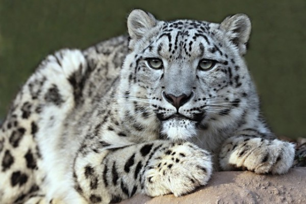 Images of Snow Leopard | 600x400
