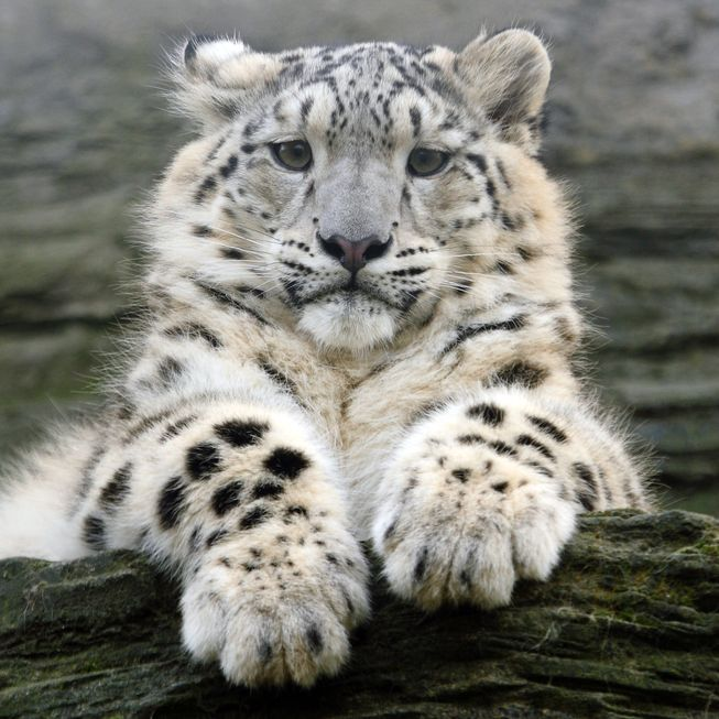 Nice wallpapers Snow Leopard 653x653px