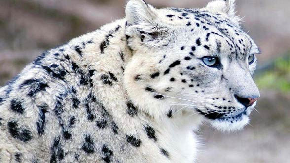HD Quality Wallpaper | Collection: Animal, 588x331 Snow Leopard