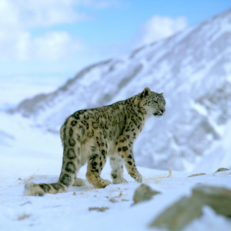 HD Quality Wallpaper | Collection: Animal, 800x800 Snow Leopard
