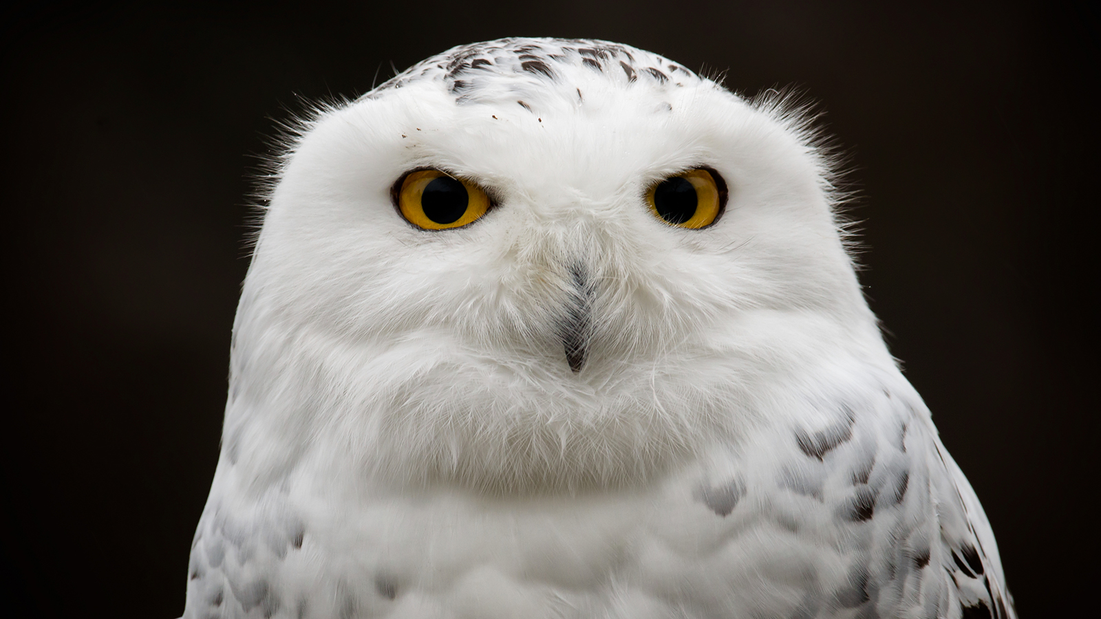 HQ Snowy Owl Wallpapers | File 749.7Kb