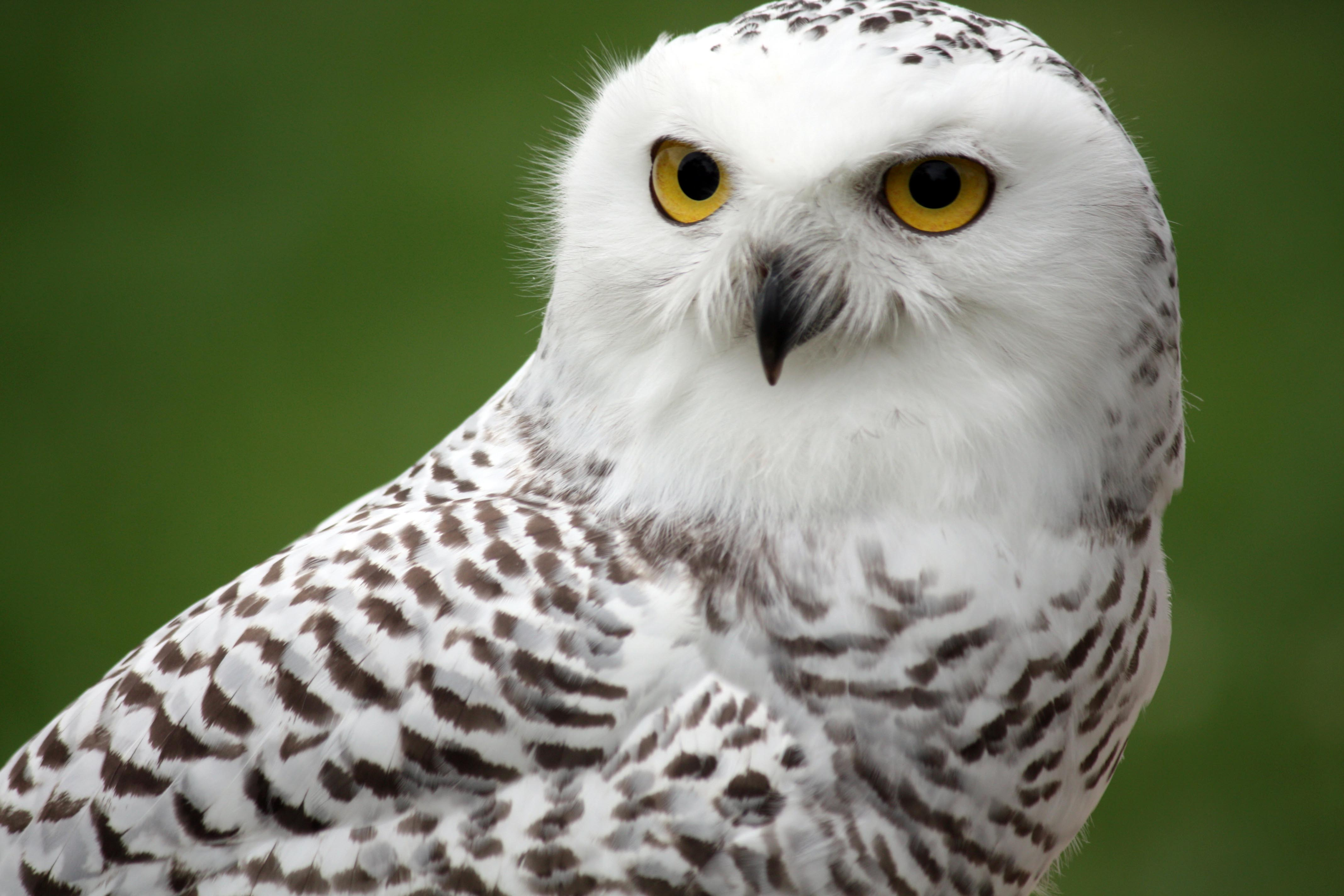 4272x2848 > Snowy Owl Wallpapers