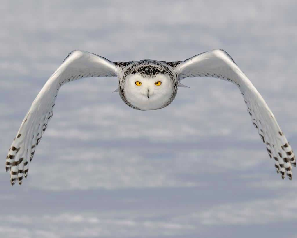Snowy Owl Backgrounds, Compatible - PC, Mobile, Gadgets| 1024x820 px