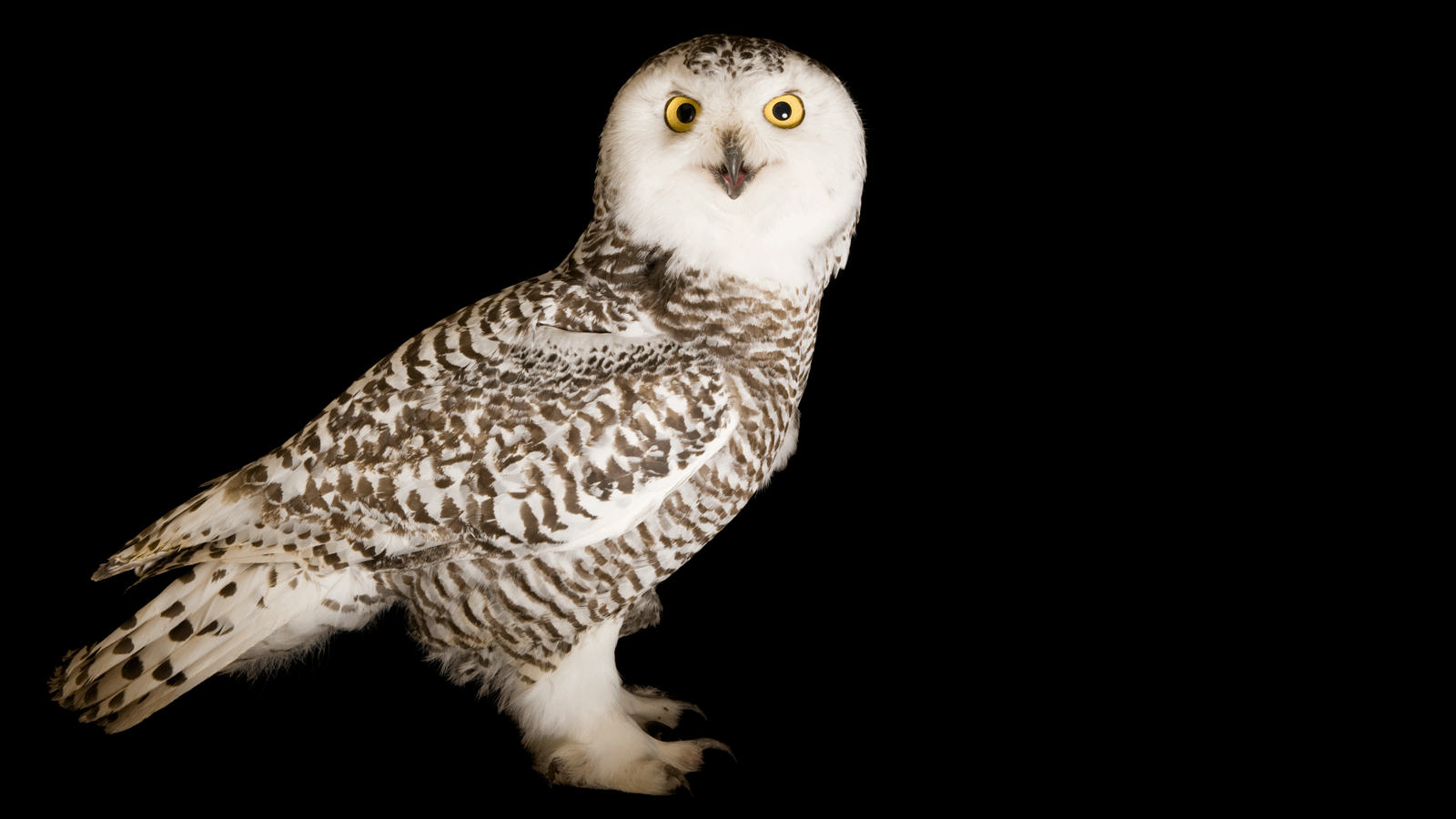 Images of Snowy Owl | 1600x900