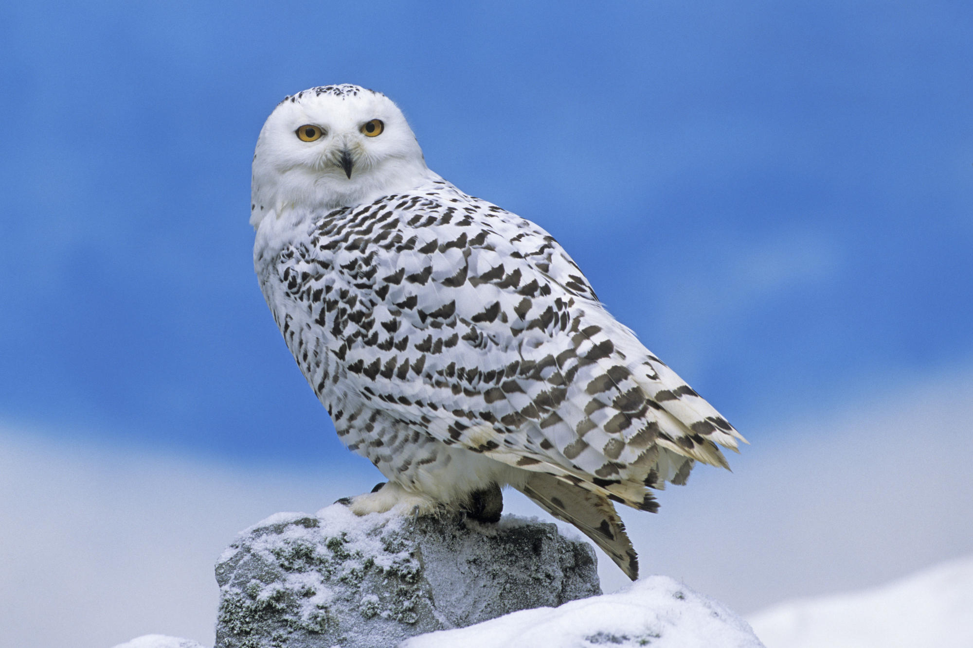 Nice wallpapers Snowy Owl 2000x1333px