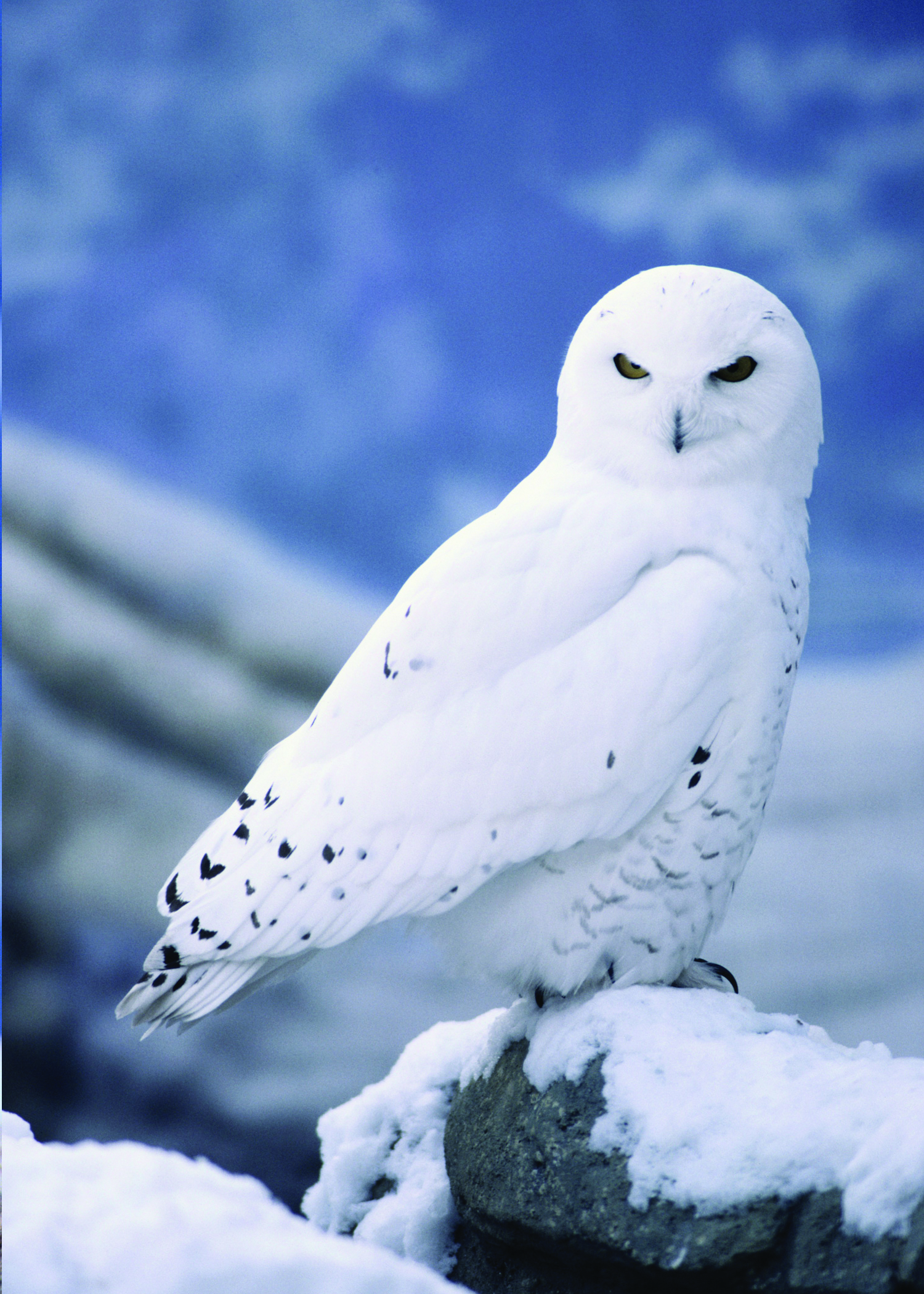 Nice wallpapers Snowy Owl 1500x2100px