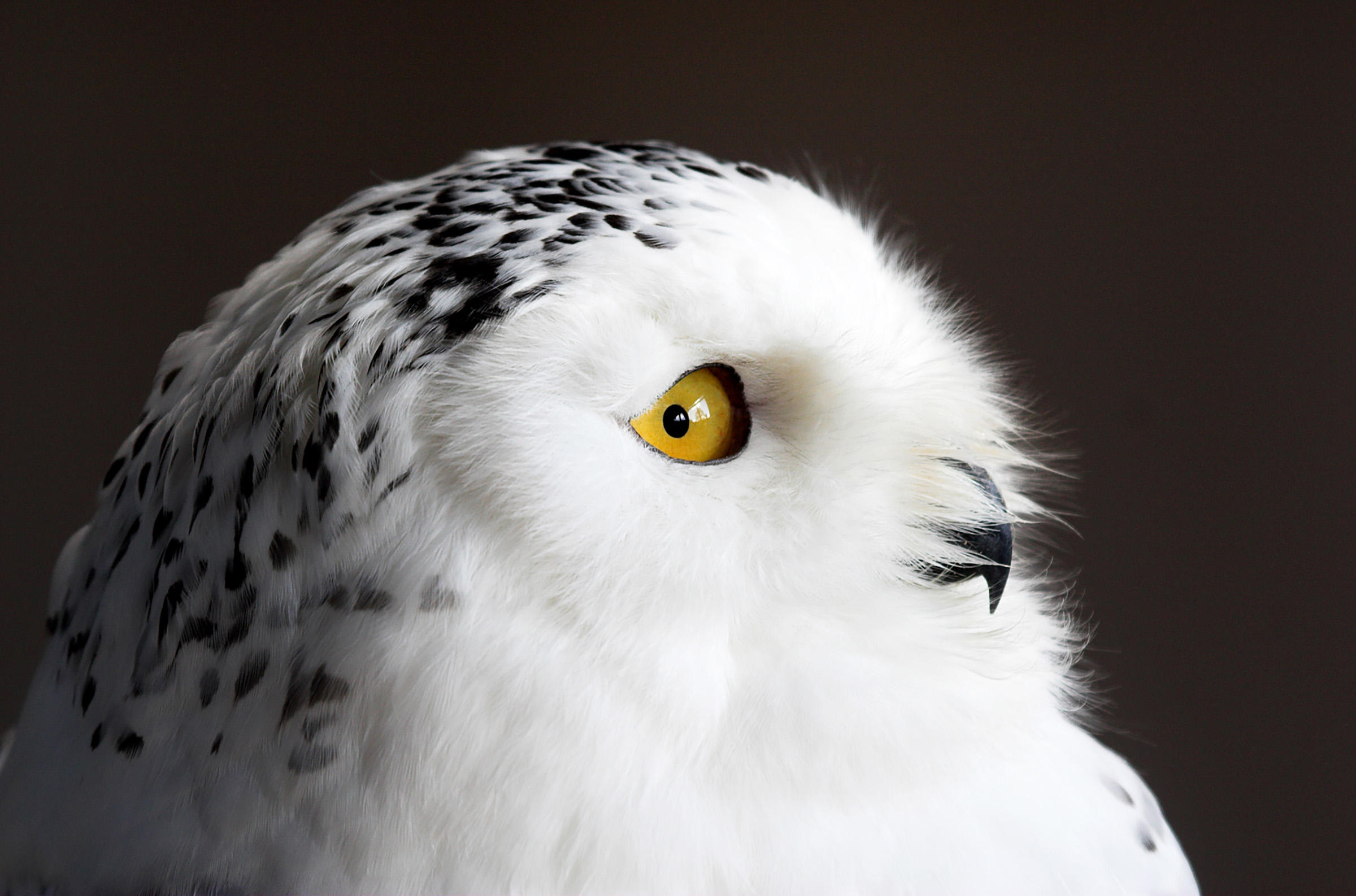 Snowy Owl Pics, Animal Collection