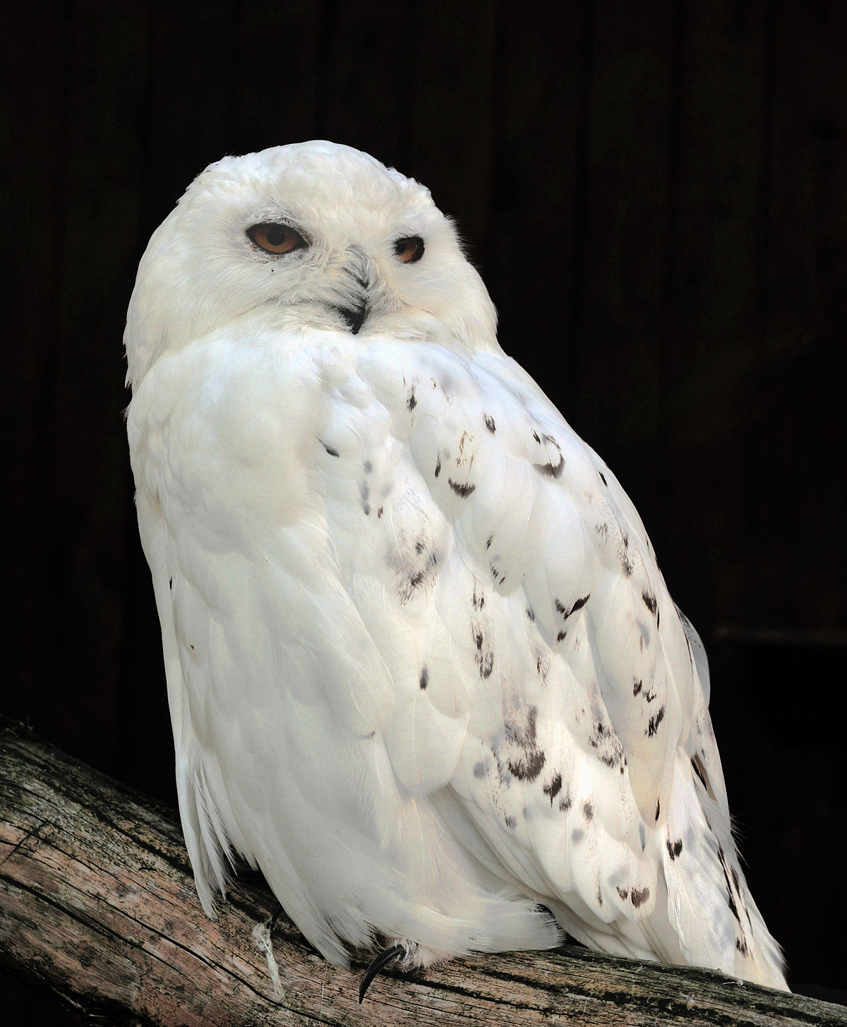 Snowy Owl Backgrounds on Wallpapers Vista