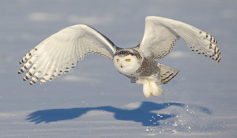 800x467 > Snowy Owl Wallpapers