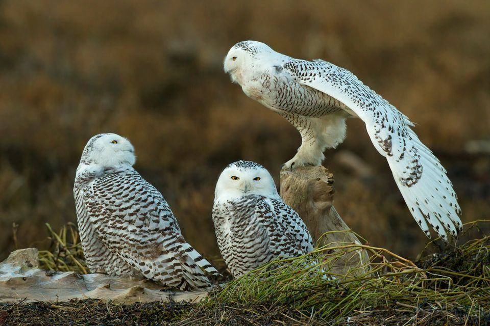 Amazing Snowy Owl Pictures & Backgrounds