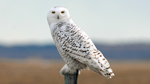 High Resolution Wallpaper   Snowy Owl 515x290 px