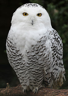Nice Images Collection: Snowy Owl Desktop Wallpapers